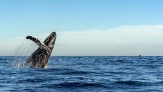 L'arrivée des baleines en Basse Californie