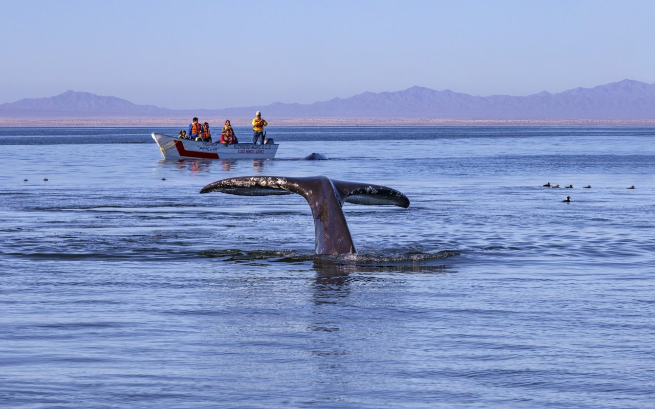 Baleine de la basse Californie au Mexique