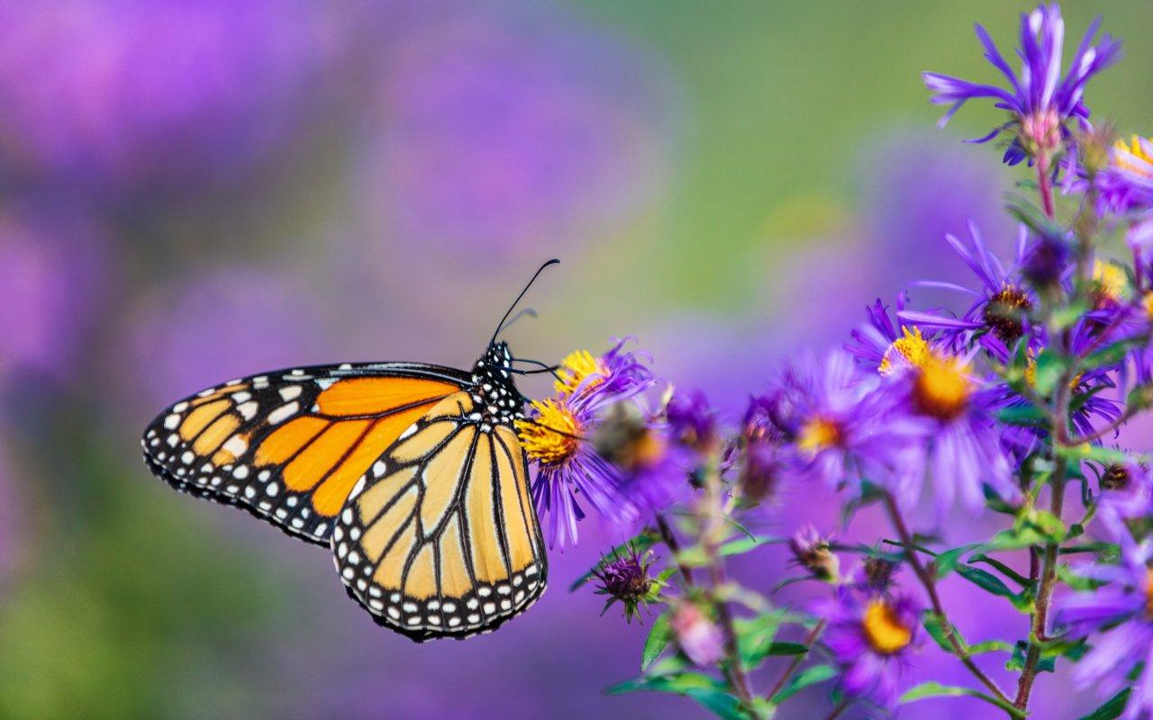 Papillons monarch du Mexique