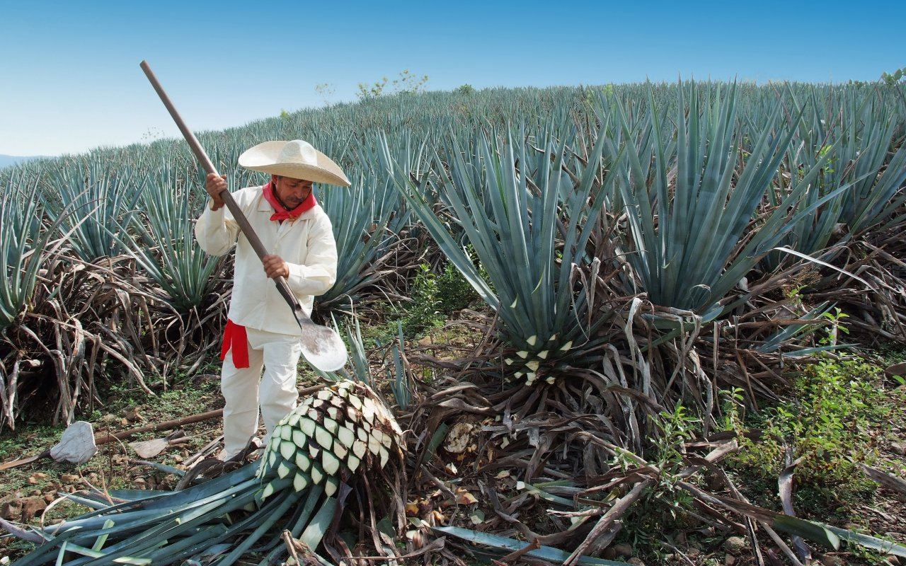 Jimador Man working in the tequila industry