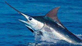 Le poisson le plus rapide au monde