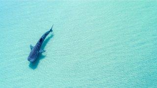L' aventure avec les requins baleine